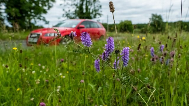 Tufted vetch on a road verge in Northern Ireland