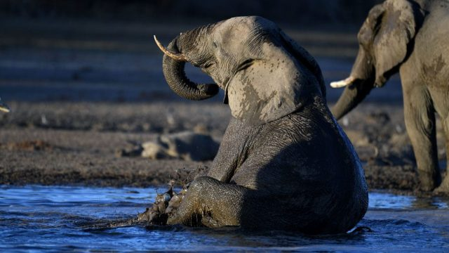 An elephant in the Okavango Delta in Botswana . The country has recorded instances of poaching since lockdown was announced at the end of March (photo: AFP / Getty Images)