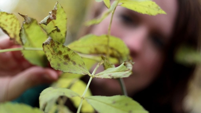 A set of genes has been identified that could protect ash trees from a deadly beetle