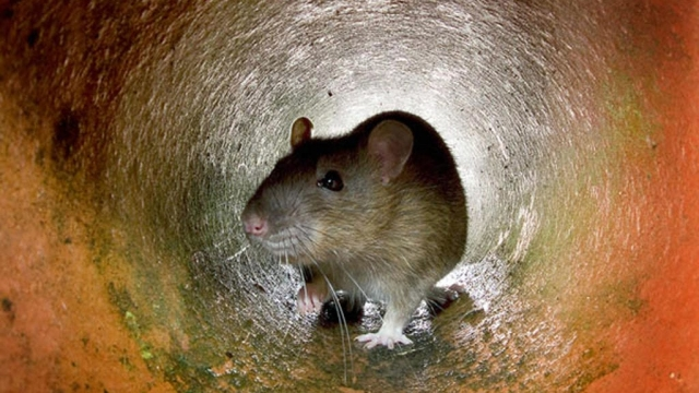 Pest control experts believe there has been an increase in rat activity since lockdown restrictions were put in place