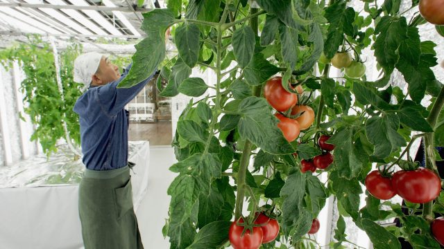 The scientists will try to develop a probiotic for tomato plants