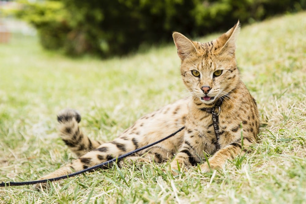 Can You Get A Savannah Cat In The Uk The Law Around The Serval Hybrid And Other Big Cats Explained